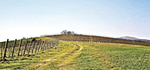 Buscaretos vineyard of Verdicchio grapes near Arcevia