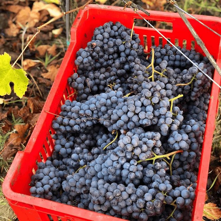 careful harvesting at G.D. Vajra
