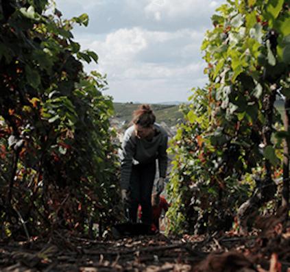 Careful harvest by Louis Roederer
