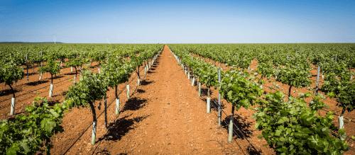Vineyards of Bodegas Lozano in La Mancha
