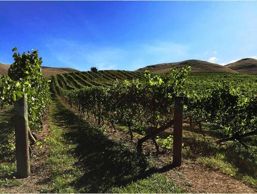 Silenis Pinot Noir Vines in Hawkes Bay