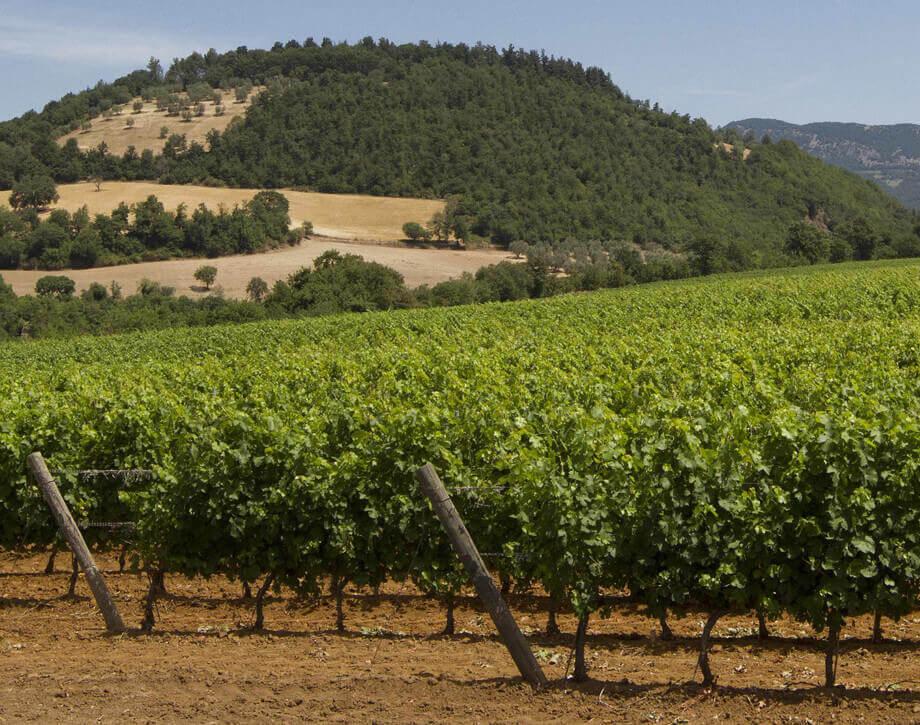 Fattoria Aldobrandesca vineyards