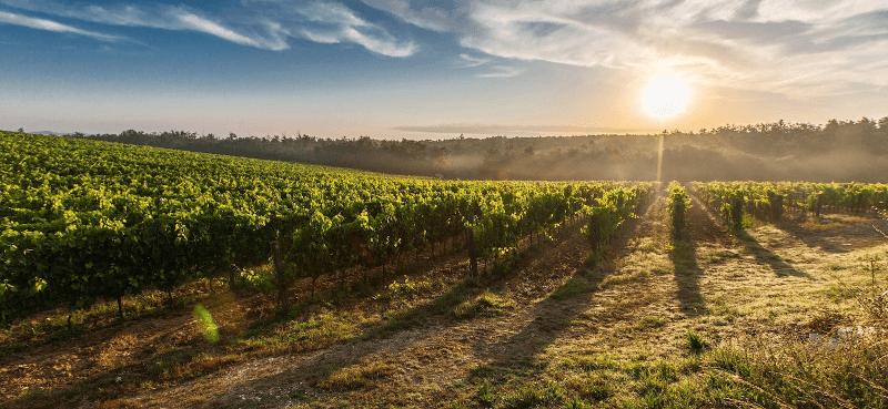 Citra vineyards