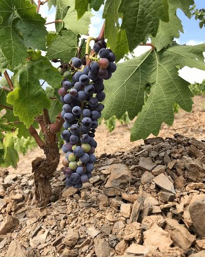 Vines in Priorat of Mas Doix