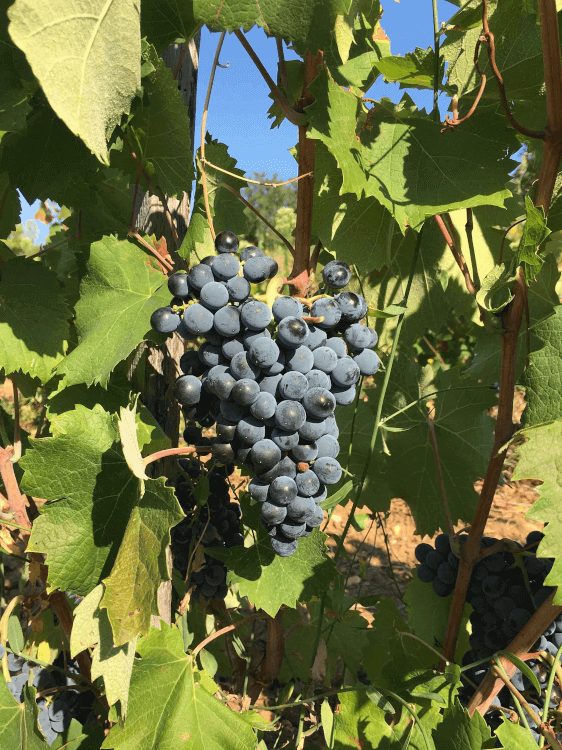 ripe red grapes from Chateau Sixtine
