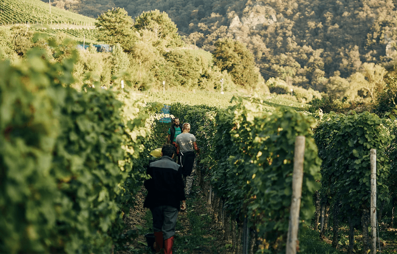 careful manual harvest at the Weingut Dönnhoff