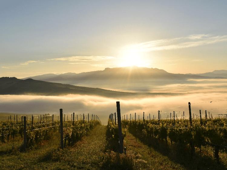 sunny vineyards of Stemmari