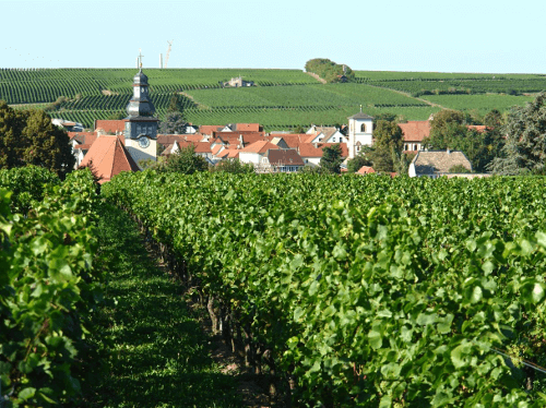 The vineyards of the Groh winery in Bechtheim