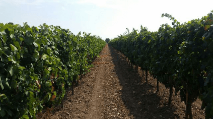 A vineyard in Puglia from Cantine Minini