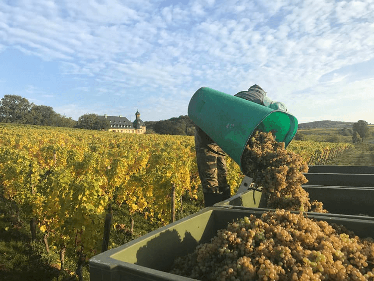 careful harvesting at Schloss Vollrads