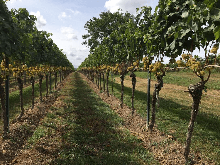 The Chardonnay vine rows from Wageck