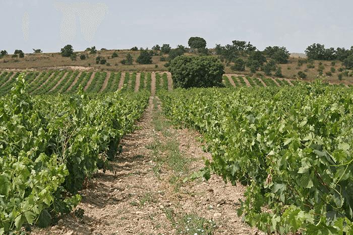 Extensive vineyards of Teofilo Reyes