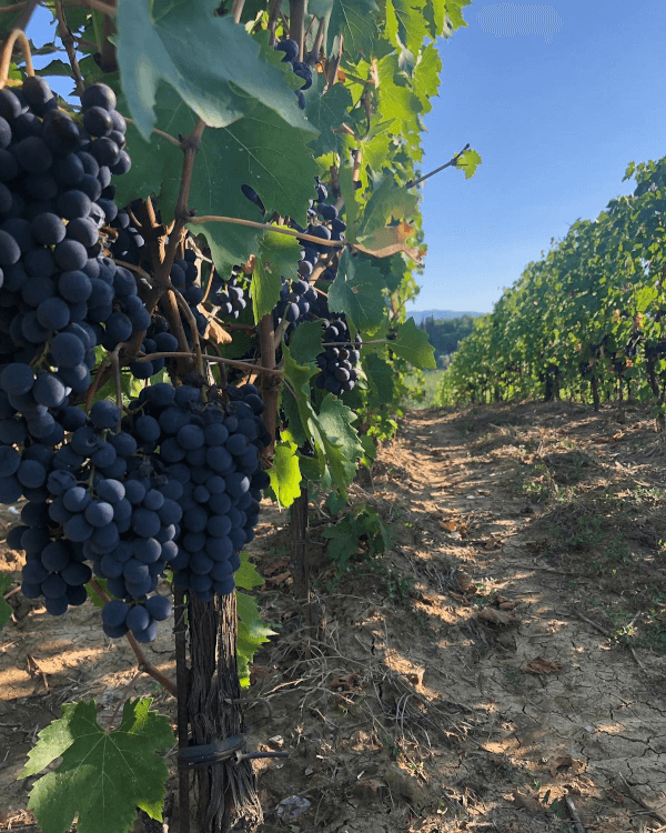 Vineyards of Poggiotondo
