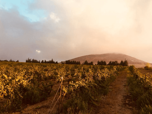 Vine rows from the Golan Heights Winery
