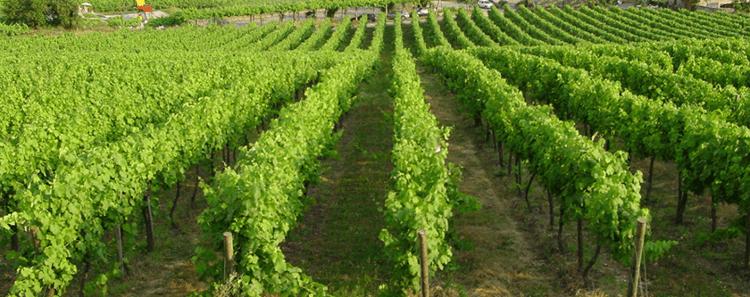 Global Wines Reben in DOC Vinho Verde