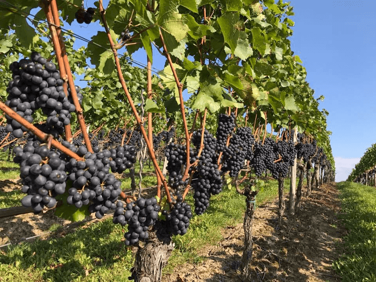 sun-flooded rows of vines from the Weingut Korrell