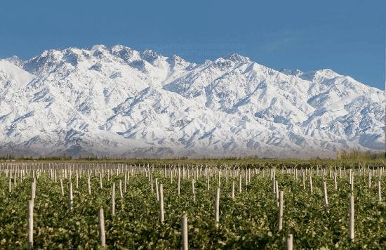 The vines of Bousquet in Tupungato
