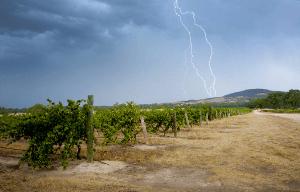 vineyard-blu-pyrenees