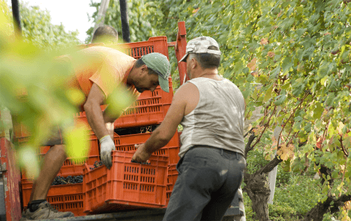 Weinlese in den Weinbergen von Borgogno