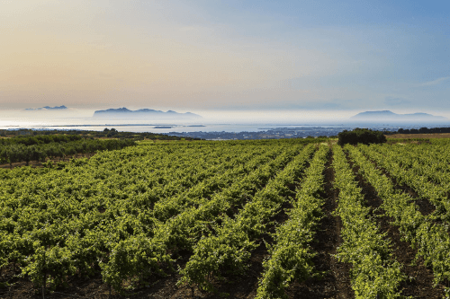 The vines of Cantine Paolini