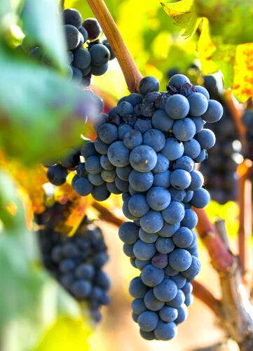 Primitivo-druif op de wijnstok
