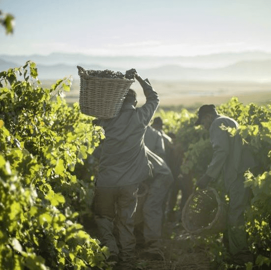The grape harvest in the Allesverloren vineyards