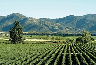 The vineyards of Vina Los Vascos