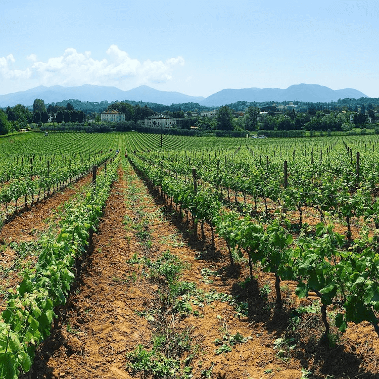 Long rows of vines from Villa Santo Stefano