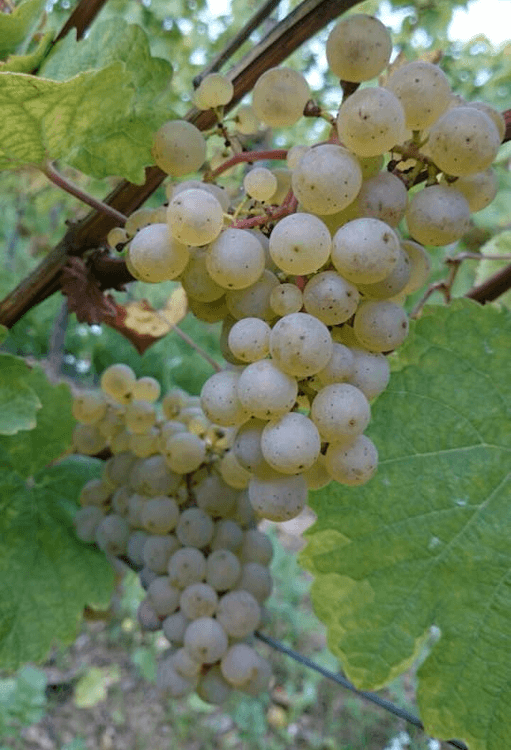 ripe Riesling grapes from the Weingut Johannishof