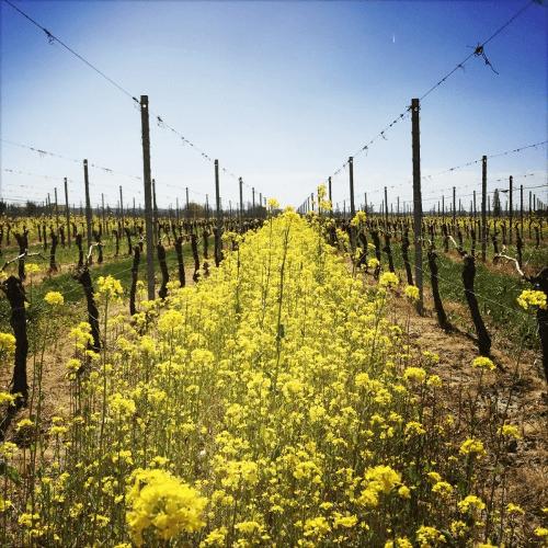 Frühling in den Weinbergen von Ducourt