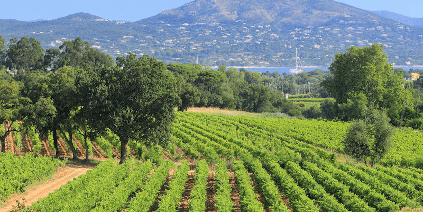 Vineyards of Chateau Minuty