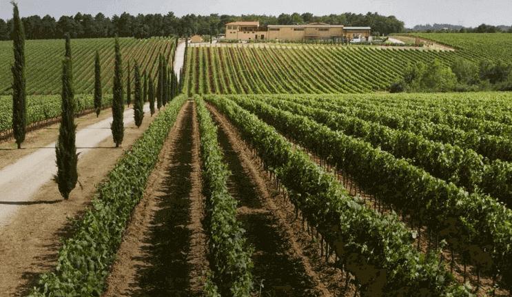 La Braccesca vineyards