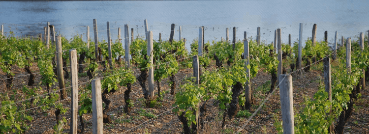 Rebstöcke im Loire Anbaugebiet