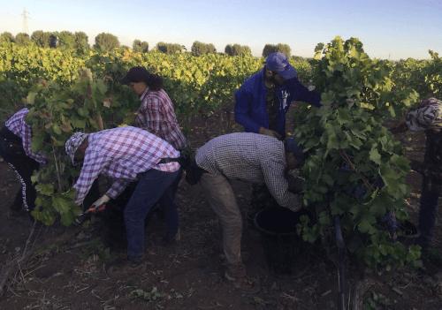 Manual harvest at A Mano