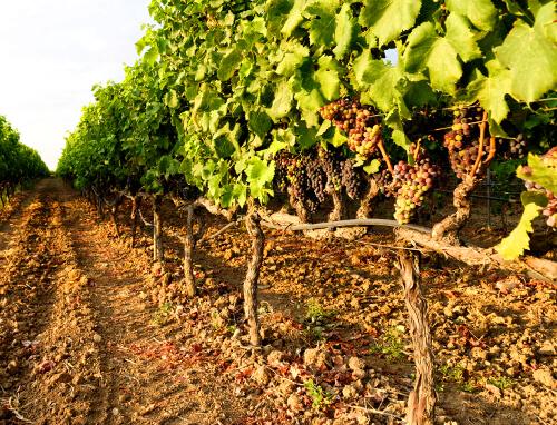 Wijnstokken met jonge druiven in Apulië