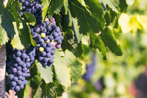 Ripe grapes in the Ulmo area of Planeta
