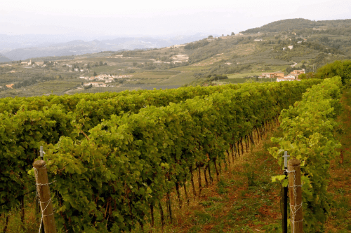 The vast vineyards of Ca dei Frati