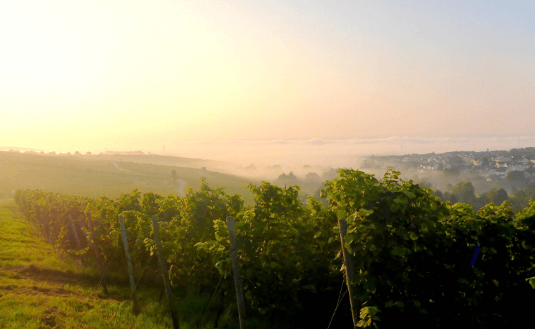 Riesling vines from Weingut Robert Weil