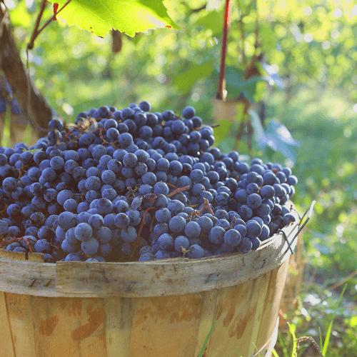 reife Trauben für die Weine von Terrecarsiche1939
