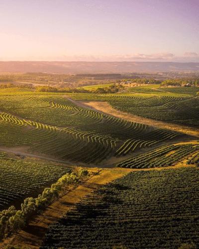 The vineyards of d'Arenberg in McLaren Vale
