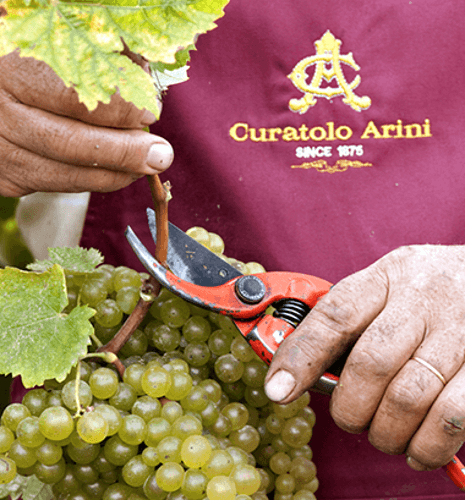 Grape harvest at Curatolo Arini