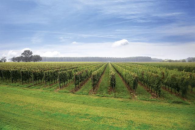 extensive vineyards of Bosco del Merlo
