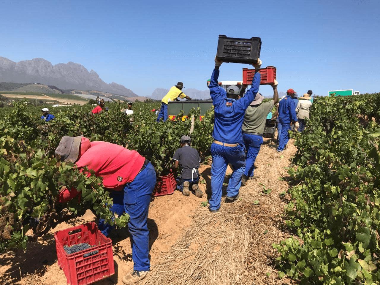 simonsig-harvest-2019-in-progressFMe24eMJtbM6r